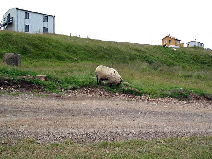 Djúpavík. Miscellaneous XXVII. - A sheep. (6 till 13 August 2010)