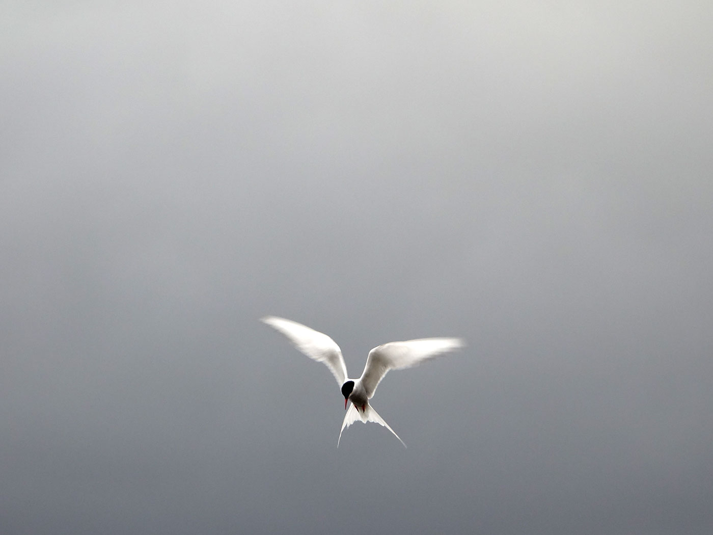 Djúpavík. Kría (Arctic tern). - I. (13 and 14 August 2013)