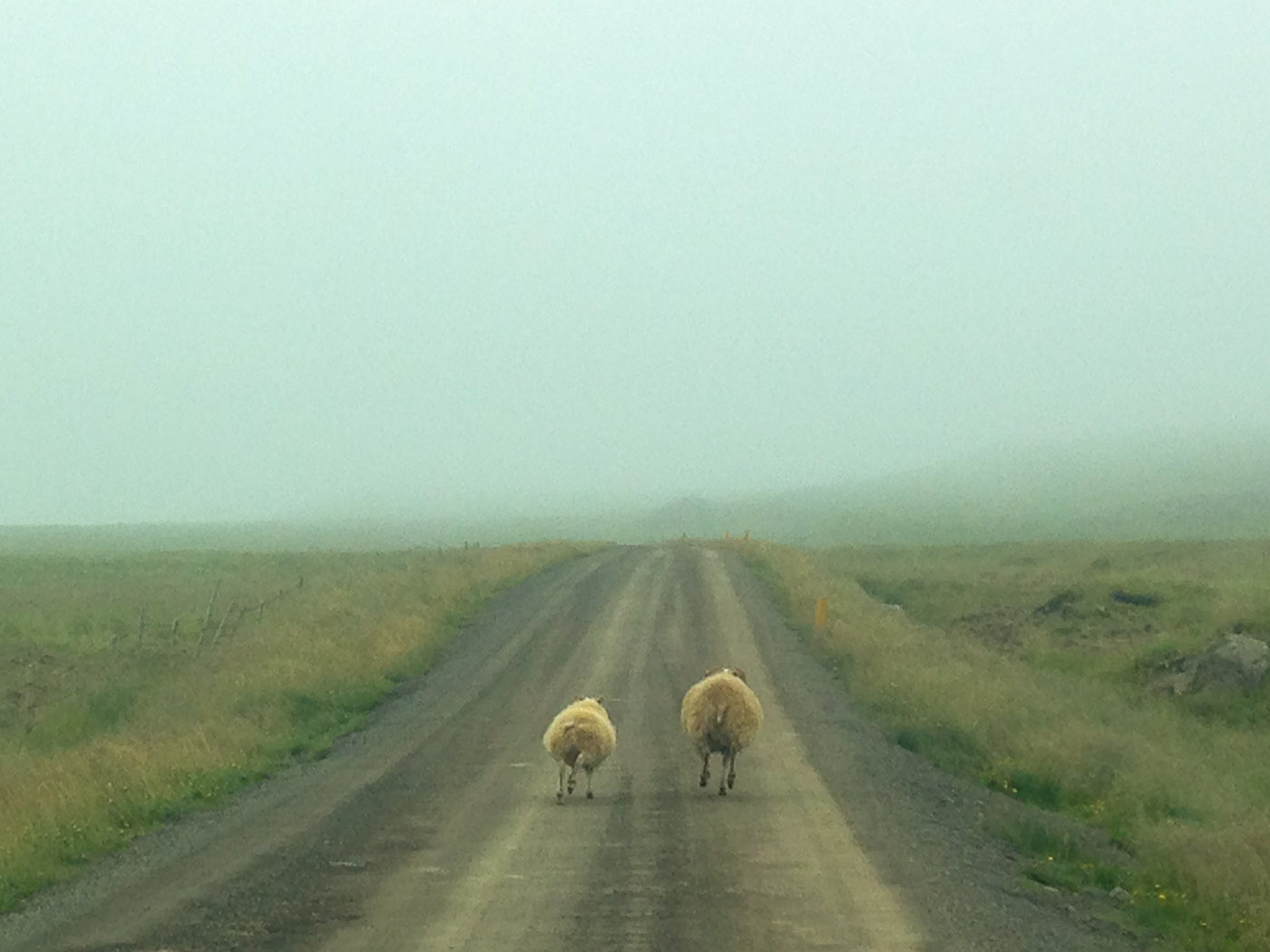 Northern Iceland - Hvammstangi - Svarfaðardalur. On vacation. - Around Vatsnes. VIII. And (running) sheep ... (20 July 2014)