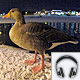 Christmas 2011 – 'Pictures - and their sounds' - The christmas goose